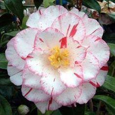 Camellia japonica 'Purinsesu-Masako' AKA 'Princess Masako' (Japan, 1989)