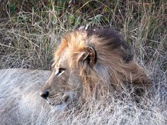 Male Lion Digital JPG Download by AfricanGranny on Etsy