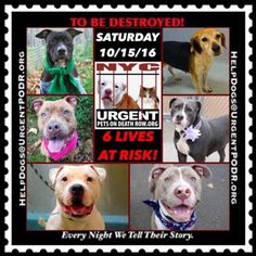 "6 BEAUTIFUL LIVES TO BE DESTROYED 10/15/16 @ NYC ACC. *SO MANY DOGS HAVE BEEN KILLED LATELY* This is a HIGH KILL ""CARE CENTER"". Please Share: To rescue a Death Row Dog, Please read this:http://information.urgentpodr.org/adoption-info-and-list-of-rescues/ To view the full album, please click here: http://nycdogs.urgentpodr.org/tbd-dogs-page/ Please Share:- Click for info & Current Status: http://nycdogs.urgentpodr.org/to-be-destroyed-4915/"