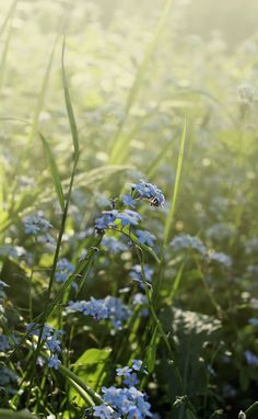 """...forget-me-nots on the cool shady edge where the hemlock greets the sunrise...""  ~  from The Forgotten Roses"