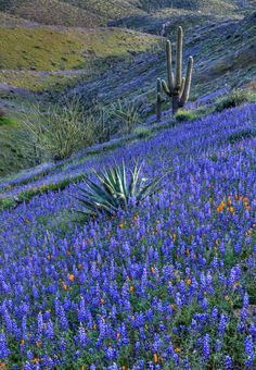 No location given - but I have never seen Texas bluebonnets with Arizona saguaro cactus in one field before. Beautiful World, Beautiful Places, Amazing Places, Spring Wildflowers, Arizona Wildflowers, Arizona Flower, Cactus Y Suculentas, Blue Bonnets, Beautiful Landscapes