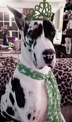 This Great Dane has a beautiful St. Great Dane Dogs, Cute Dogs, Big Dogs, Dogs And Puppies, Doggies, Animals Beautiful, Cute Animals, Beautiful Dogs, Harlequin Great Danes