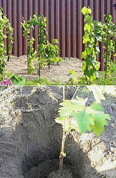 Как правильно посадить виноград - советы, рекомендации