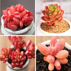 These Rare Succulents are much sought after among succulent collectors. They look amazing and really pair very well together. Each Set Of 4 Consists of: 💜 Sedeveria Pink Ruby 💜 Sedeveria 'Letizia' 💜 Pachysedum 'Ganzhou' 💜Sedun Joyce Tulloch Succulents For Sale, Rare Succulents, Succulent Care, Very Well, Houseplants, Gardening Tips, Cactus, Size 2, Group