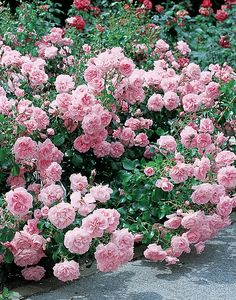 Vuoden 2007 runsaskukkainen nimikkoruusu. Plants, Garden, Love Flowers, Rose, Flowers, Floral, Garden Plants