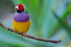 #gouldian  Rainbow Finch