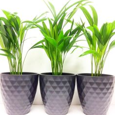 Areca Palm - Top Air Cleaning Tropical Plant