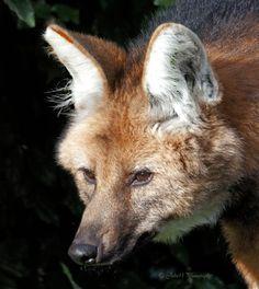 Manenwolf in Diergaarde Blijdorp