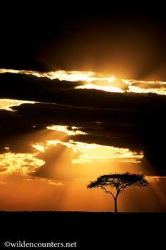 "Acacia tree at sunset, Masai Mara, Kenya looks like the ""African-tree"" in sunridge...haha"