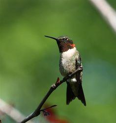 Ruby-throated Hummingbird - Backyard - BirdWatching Daily - BirdWatching Community