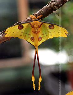 Madagascar Moon Moth by =thrumyeye