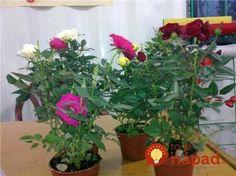 Trik s novinami a plastovou taškou - je úplne zadarmo a budete mať vďaka nemu plnú záhradu krásnych ruží!