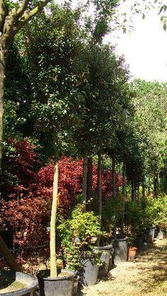 Quercus Ilex Full Standard- Holm Oak
