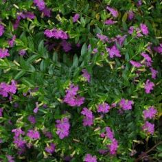 Cuphea  Mauve is a popular bordering plant featuring tiny mauve flowers.