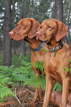 Vizsla Elegance - Wuvely // this reminds me of the dogs Dan and Little Ann in the book Where the Red Fern Grows. I love that book and still cry every time I re-read it. Weimaraner, Vizsla Puppies, Dogs And Puppies, Vizsla Dog, Doggies, Big Dogs, I Love Dogs, Organic Dog Food, Redbone Coonhound