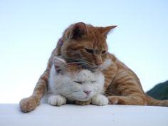 Cat_Shiro & Tyatora