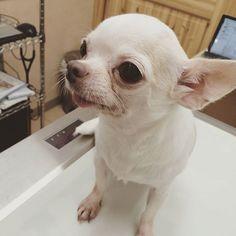 うめちゃんもお薬をもらいに病院へ。 耳の菌が落ち着いて来たけど もうひと踏ん張り!お薬の量は減りました ケア、頑張ろう体重は1.95kgダイエットも順調です  この日は看護師さんと亡きあられちゃんの話で またまた二人で号泣… みんなに愛されてたね。  #うめちゃん #チワワ #スムースチワワ #保護犬 #保護活動 #動物病院 #ステロイド治療 #福島から来たよ #預りっ子 #たぶん家の子になるかな #愛犬 #多頭飼い #ペットレスキュー #病気治療中 #愛犬の死 #dog #dogs #あられちゃんの想い出 #るちあん