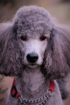 Goldendoodle, Havanese, Dog Dye, Silver Poodle, Poodle Haircut, Poodle Cuts, Teddy Bear Dog, White Puppies, Pet Dogs