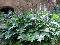 Acanthus are perennials. They are grown in large border or as feature plants in an island bed. Acanthus, once established, will take over the border, making it difficult to clear the ground for other plants.     Acanthus bear white and mauve or purplish flowers. Size varies from 40 cm, up to 2 m tall. The leaves are dark green. They need full sun to flower well.