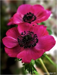 / Photo Anemone by Sergio Codogno - stunning - Mana vietne Exotic Flowers, Amazing Flowers, Beautiful Flowers, Sugar Flowers, Pink Flowers, Pink Peonies, Fresh Flowers, Yellow Roses, Pink Roses