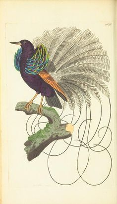 Paradise Bird, v.24 - The naturalist's miscellany, or Coloured figures of natural objects - Biodiversity Heritage Library