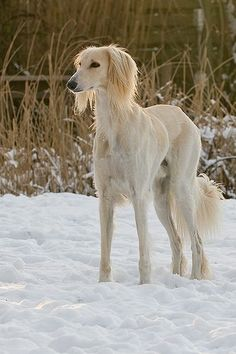 Saluki in the Snow-- strangely deer-like
