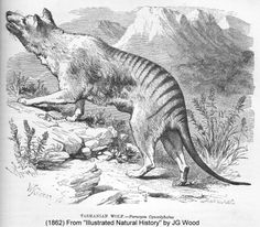 """The first recorded account of the thylacine came from rescaped convicts. Their experience was noted in the diary of the colony's pastor, Robert Knopwood, on 18 June 1805: """"Am engaged all the morn, upon business examining the 5 prisoners that went into the bush. They informed me that on 2 May when they were in the wood they see a large tyger that the dog they had with them went nearly up to it and when the tyger see the men which were about 100 yards away from it ..."""""""
