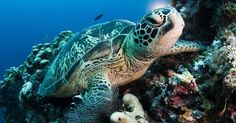 Uma tartaruga marinha nada no fundo do mar na ilha Sipadan, na Malásia. Ao nascer, elas são pequenas - não mais que 5 cm - mas podem chegar a 1,5 m