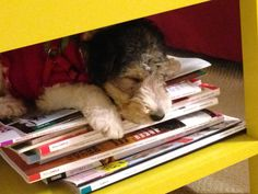 Buddy, My Wire Fox Terrier sleeping under the coffee table on a magazine stack #puppy #love