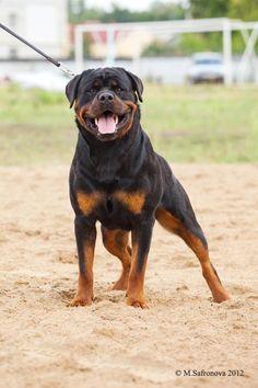 Big Boy... Rottweiler