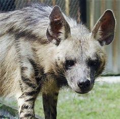 Though attacks on live humans are rare, striped hyenas will scavenge on human corpses. In Turkey, stones are placed on graves to stop hyenas digging the bodies out. In World War I, the Turks imposed conscription on Mount Lebanon. People escaping from the conscription fled north, where many died and were subsequently eaten by hyenas.