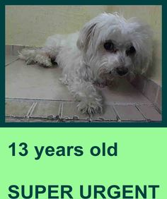 SUPER URGENT 1/29/15 Manhattan Center REMY - A1026551 I am a neutered male, white Maltese. The shelter staff think I am about 13 years old. I weigh 7 pounds. I was found in NY 10472. I have been at the shelter since Jan 29, 2015. https://www.facebook.com/Urgentdeathrowdogs/photos/pb.152876678058553.-2207520000.1422567109./952136944799185/?type=3&theater