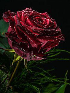 Decent Image Scraps: Animated Roses