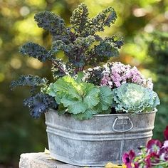 Fabulous Fall Container Garden - rustic tin with Kale!