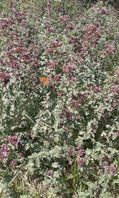 Biologico trentino origano selvatico farfalle La Fonte az agricola bio