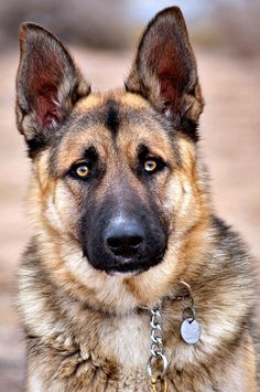 •♥•✿ڿڰۣ(̆̃̃•Aussiegirl  #Dogs The Beautiful German Shepherd