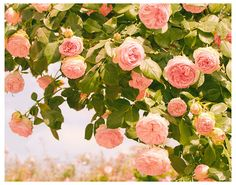 Romantic art photography: Roses in the French Garden, by RivuletPhotography, via Etsy