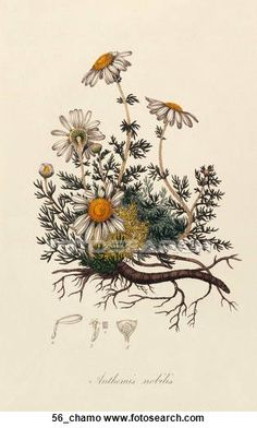 Remedies To Relief Pain The Best Herbs for Pain Relief—Aromatherapists use chamomile essential oil to promote relaxation and pain relief. Check out the link for more natural pain relief solutions. Botanical Tattoo, Botanical Drawings, Botanical Art, Botanical Flowers, Art Et Illustration, Art Illustrations, Vintage Botanical Prints, Vintage Prints, Art Deco Posters