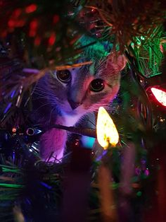 Cute Overload: Internet`s best cute dogs and cute cats are here. Aww pics and adorable animals. I Love Cats, Crazy Cats, Cute Cats, Funny Cats, Cat Christmas Tree, Christmas Animals, Cute Baby Animals, Funny Animals, Pet Costumes