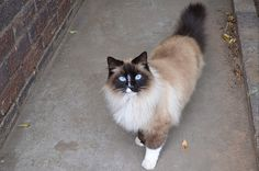 fluffy siamese cat blue eyes Siamese Cats, Cats And Kittens, Kitty Cats, Crazy Cat Lady, Crazy Cats, Miss Kitty, Cat Pee, Blue Point, All About Cats