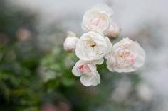 Spray Roses in Switzerland by Sarah Tucker
