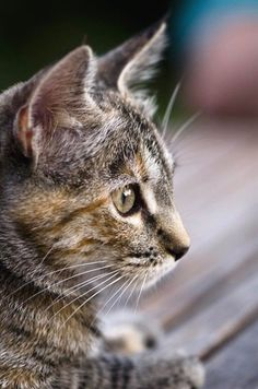 Best of Tabby Cats pictures: Pretty Cats, Beautiful Cats, Animals Beautiful, Pretty Kitty, Gato Calico, Calico Cats, Animals And Pets, Cute Animals, Grand Chat