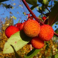 Arbutus unedo Tree Arbutus Unedo, Strawberry Tree, Fall Fruits, Types Of Soil, Evergreen, Bonsai, Shrubs, White Flowers, Planting