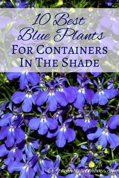 10 Best Blue Plants For Containers In The Shade This list of blue container plants for the shade is the BEST! I have so much shade in my yard that I never knew what to put in my containers. Now I know what to plant! Shade Garden Plants, Blue Plants, Tall Plants, Summer Plants, Flowering Plants, Porch Plants, Garden Shrubs, Plants Indoor, Gardening For Beginners