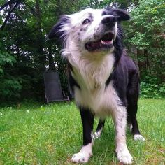 #Finlay #bordercollie #dog #Hund #dogstagram #dogsofinstagram #dogs #borderfame #zenfone