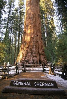 The General Sherman giant redwood is the largest redwood in the world. Sequoia National Park in California.