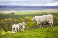 Szkocka agencja zajmująca się ochroną dziedzictwa naturalnego wzywa do redukcji liczebności kruków.