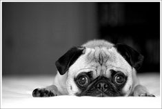 pug- i know this face.  yoda does it often- it's his boo-boo, gonna call the aspca cause i'm so underfed face....