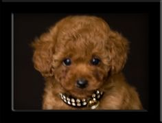Red apricot tiny toy poodle