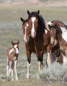 Pinto horses - This is three generations of a wild mustang family - mare, her daughter and both their foals in the McCullough Peaks Herd Area of Wyoming.